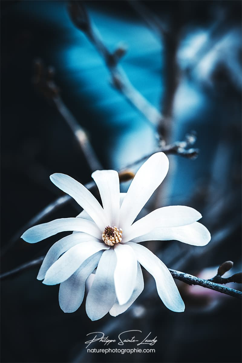 Un magnolia blanc