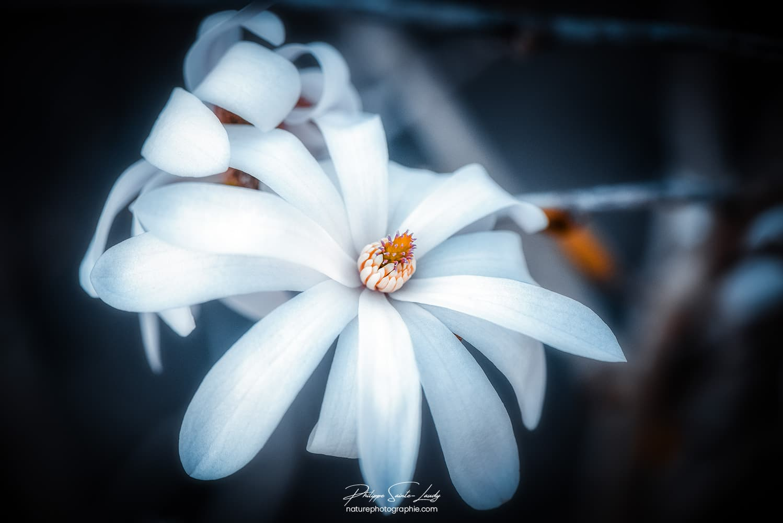 Effet Orton sur un magnolia