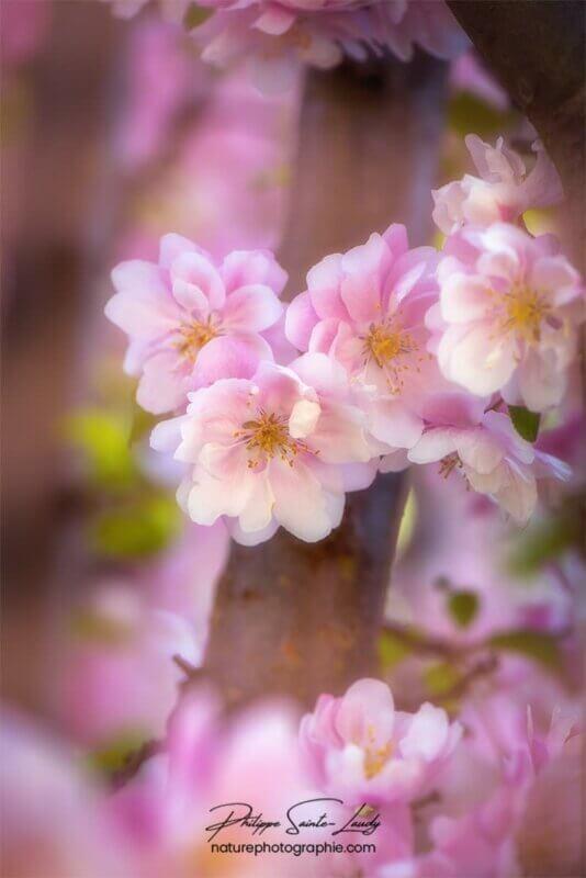 Orton sur fleurs de pommier