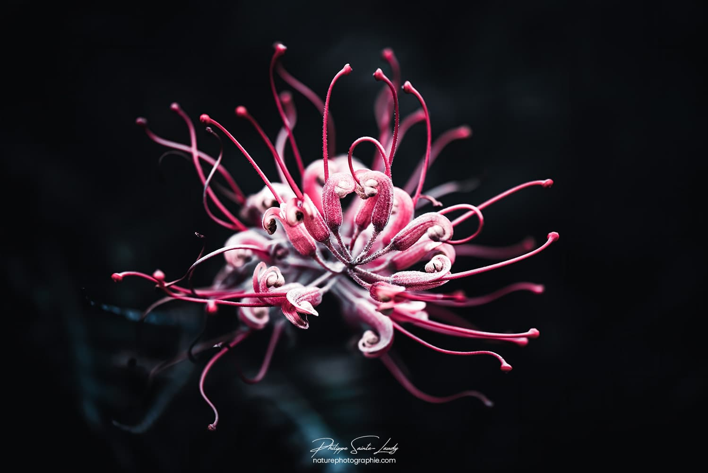 Explosion florale du Grevilléa Robyn Gordon