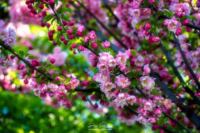Grappes de fleurs sur un pommier