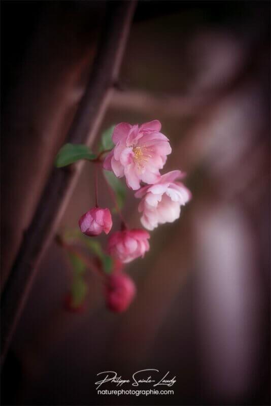 Fleurs de pommier solitaires