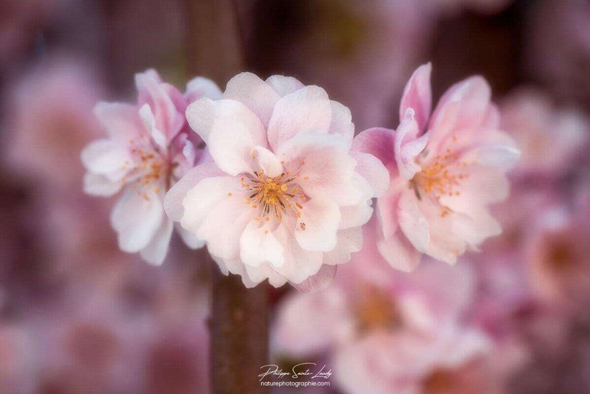 3 fleurs de Pommier Japonais