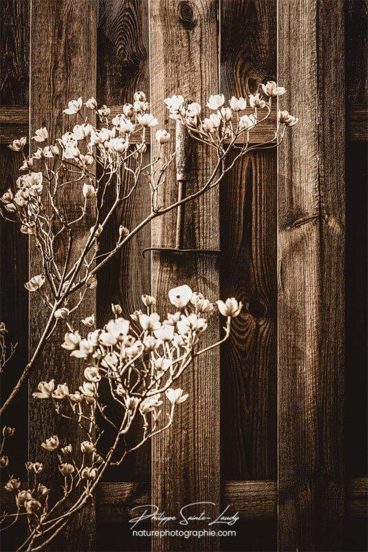 Traitement sépia sur photo d'un cornouiller