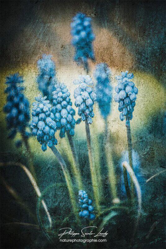 Texture photo sur des muscaris