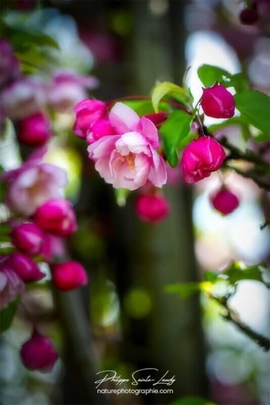 Détails d'une fleur de pommier
