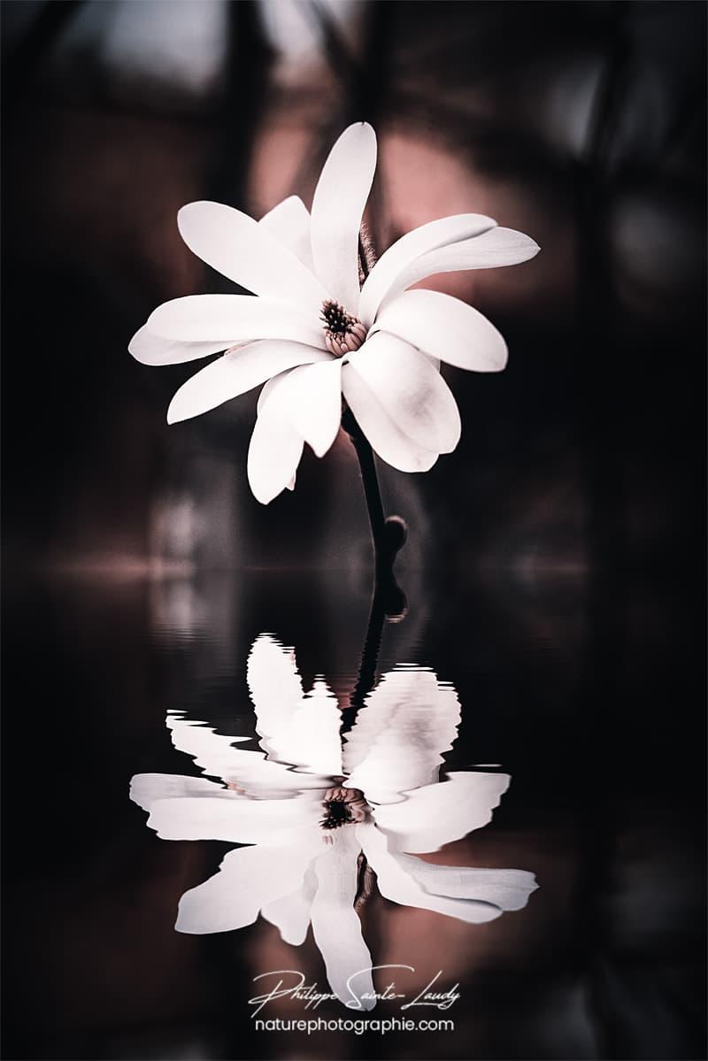 Reflet d'un magnolia