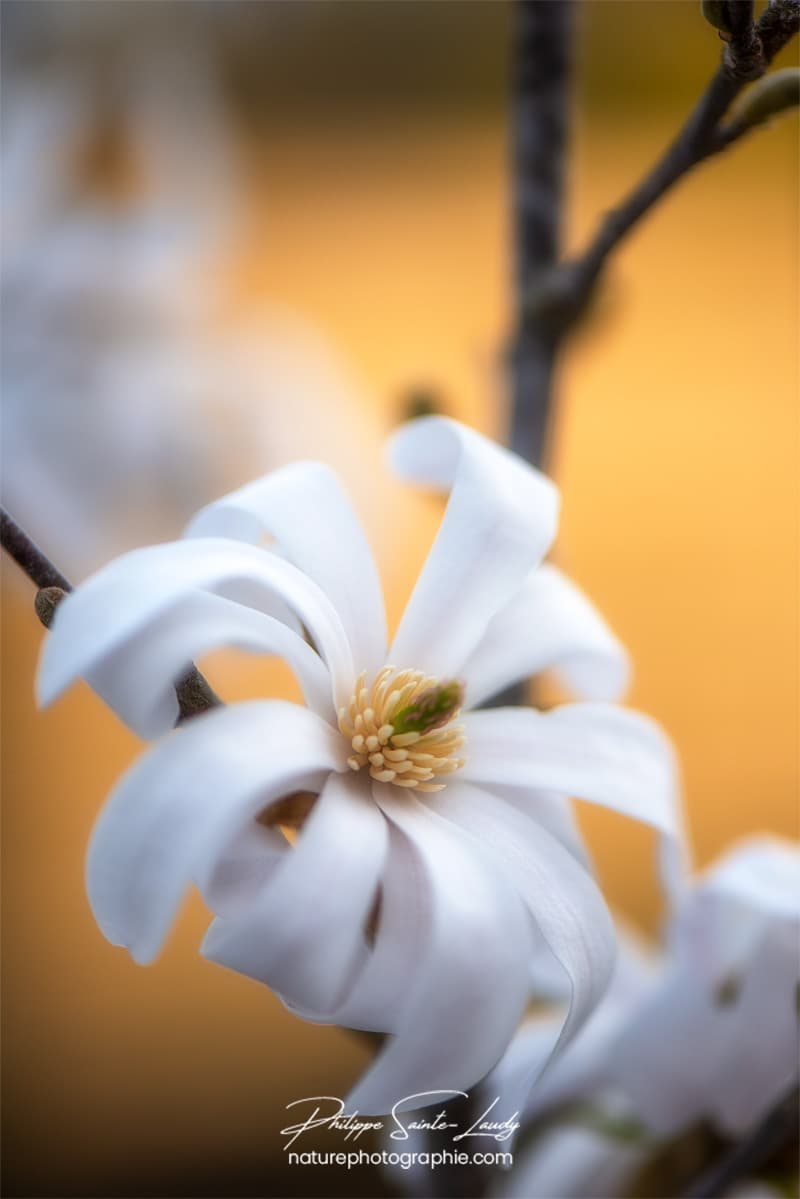 Magnolia en gros plan