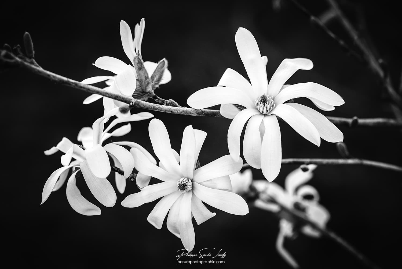 Magnolia en noir et blanc