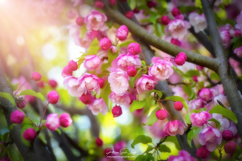 Fleurs de pommier japonais au printemps