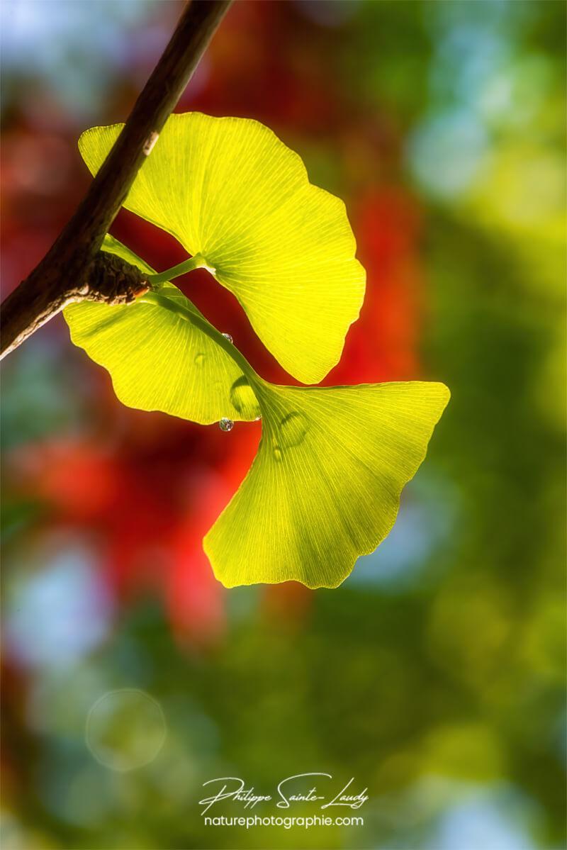 Transparence des feuilles de ginkgo