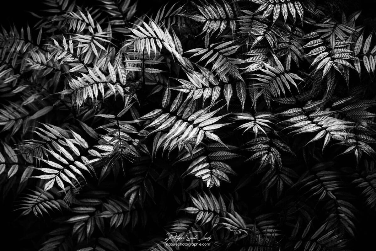 Sorbaire en noir et blanc