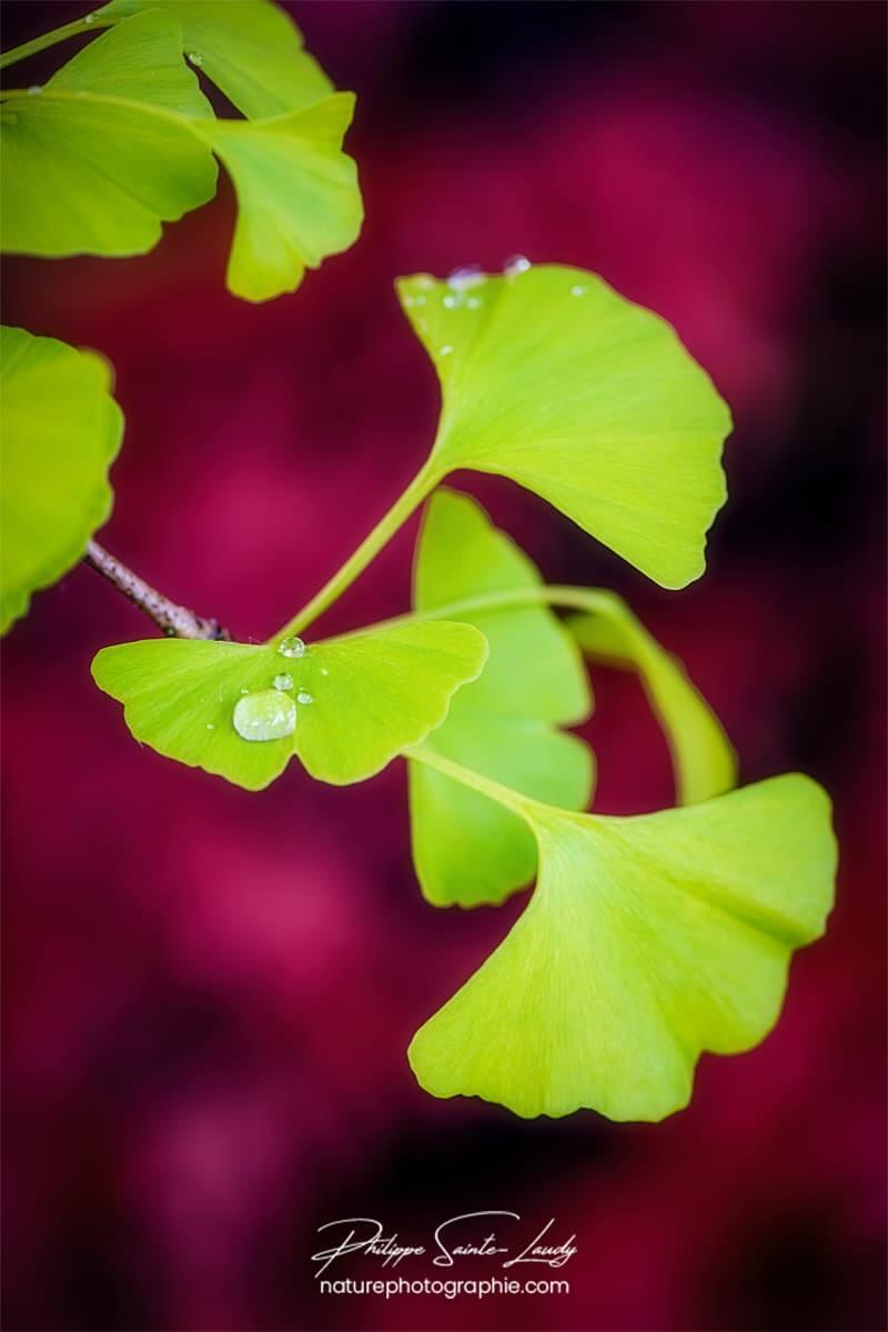 Goutte de pluie sur une feuille verte de ginkgo