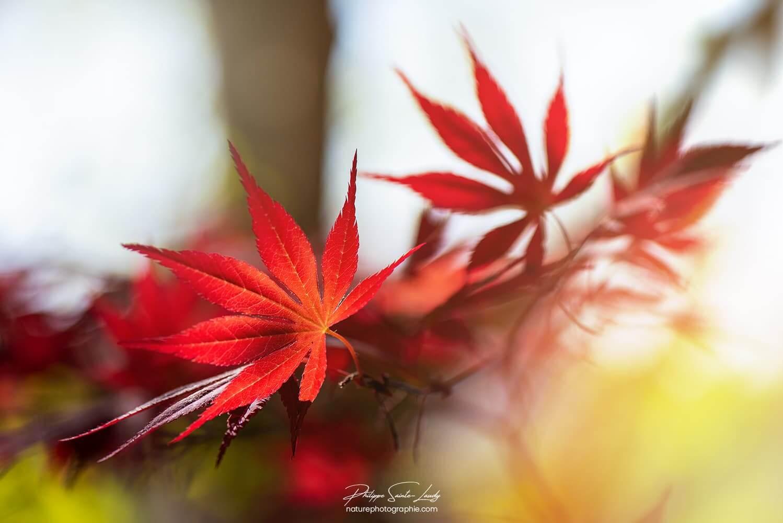 Rouge sont les feuilles d'érable