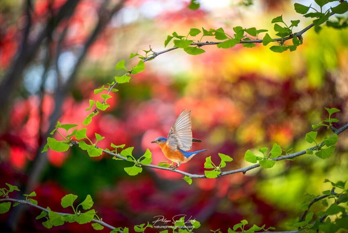 Oiseau sur un ginkgo biloba