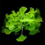 Grappe de feuilles de ginkgo