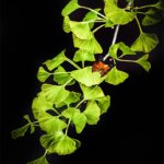 Un papillon sur une branche de ginkgo biloba