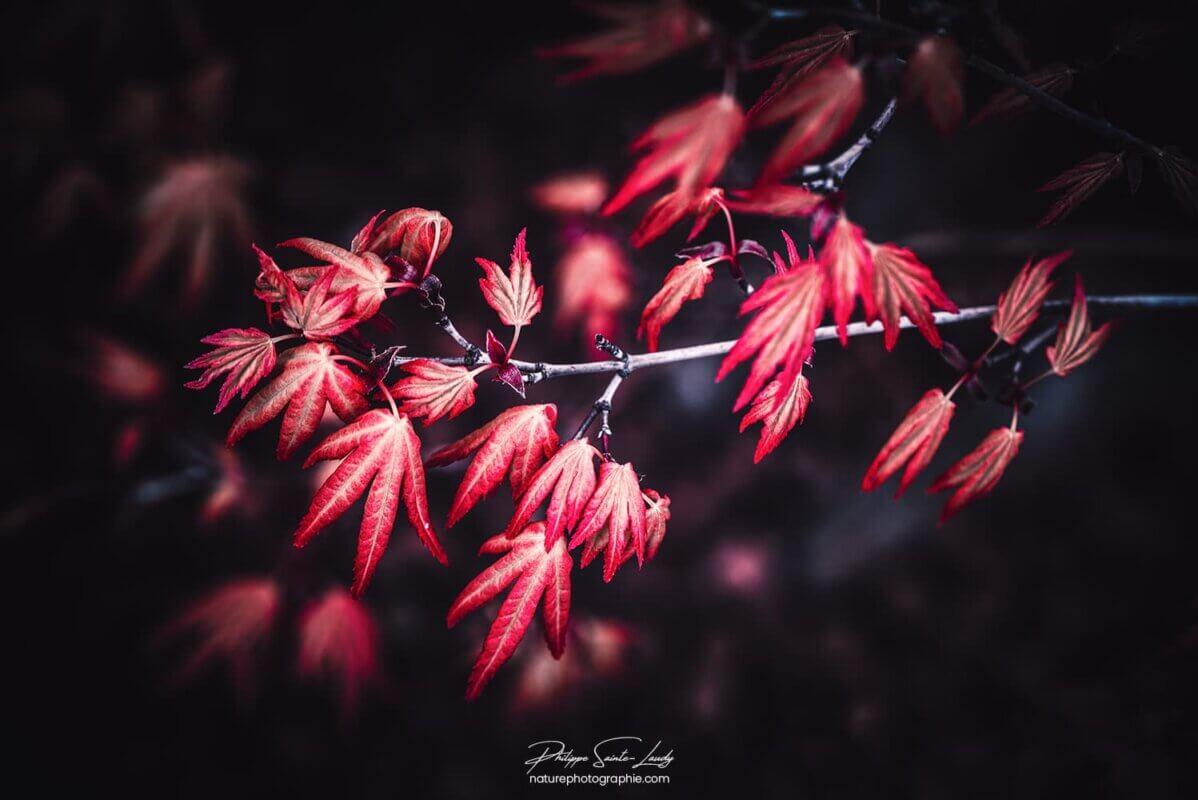 Petites feuilles d'érable