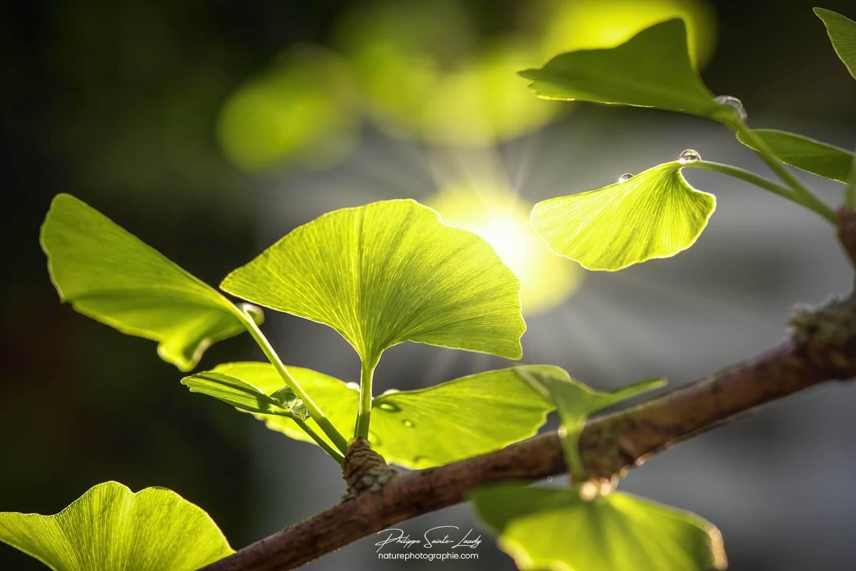 La lumière du soleil au milieu d'un ginkgo