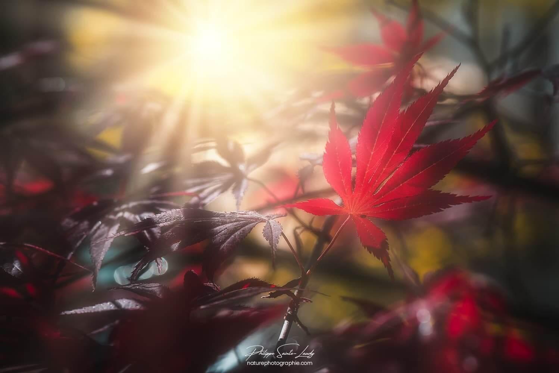 Feuille d'érable rouge dans le soleil couchant