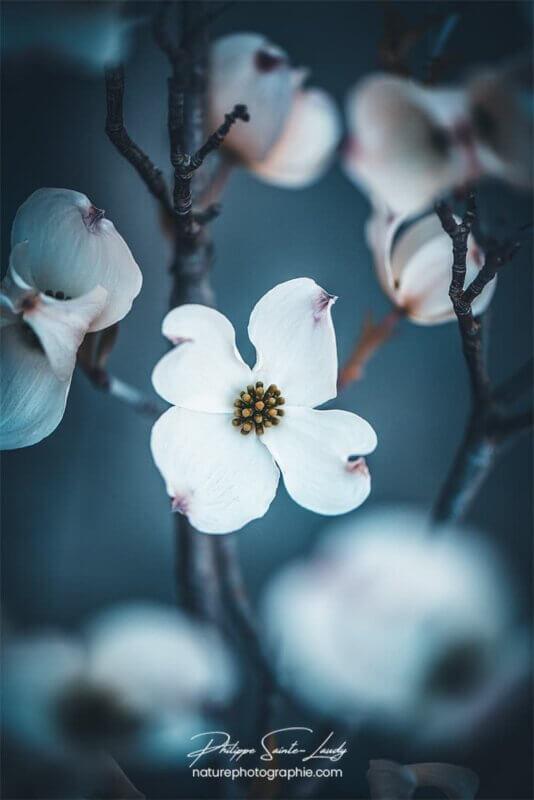 Cornouiller en fleur