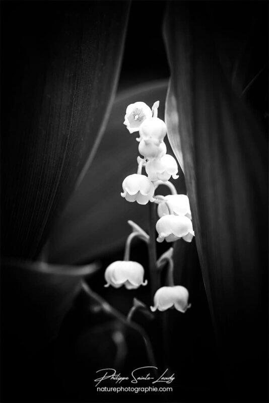 Muguet en noir et blanc