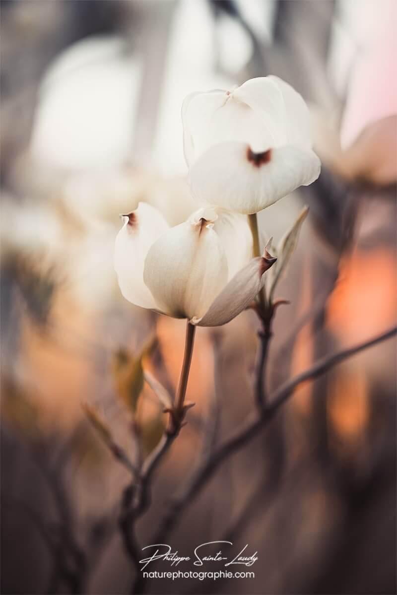 Fleurs de cornouiller au couchant