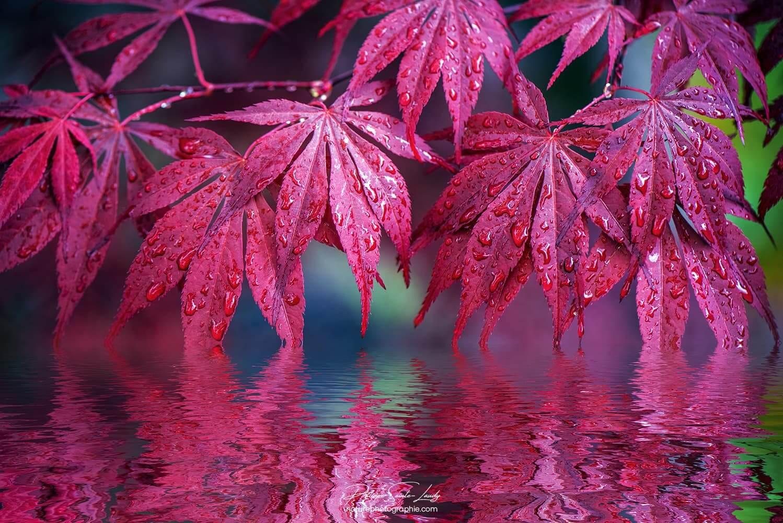 Reflet de feuilles d'érable