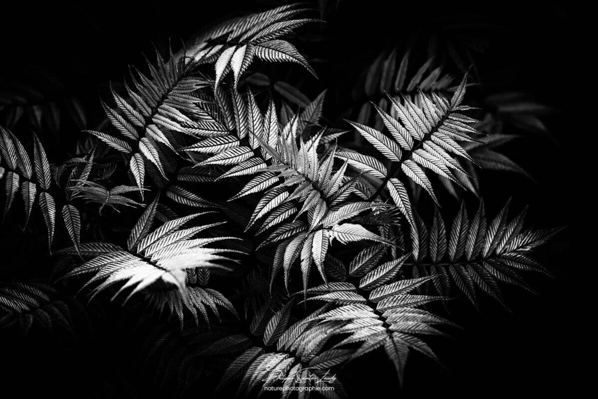 Feuilles dentelées en noir et blanc