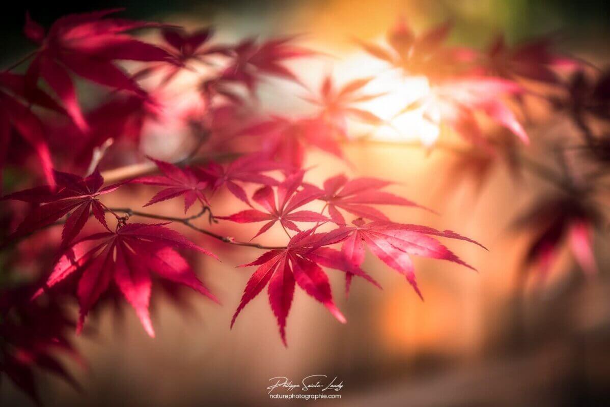 Le soleil à travers un érable rouge