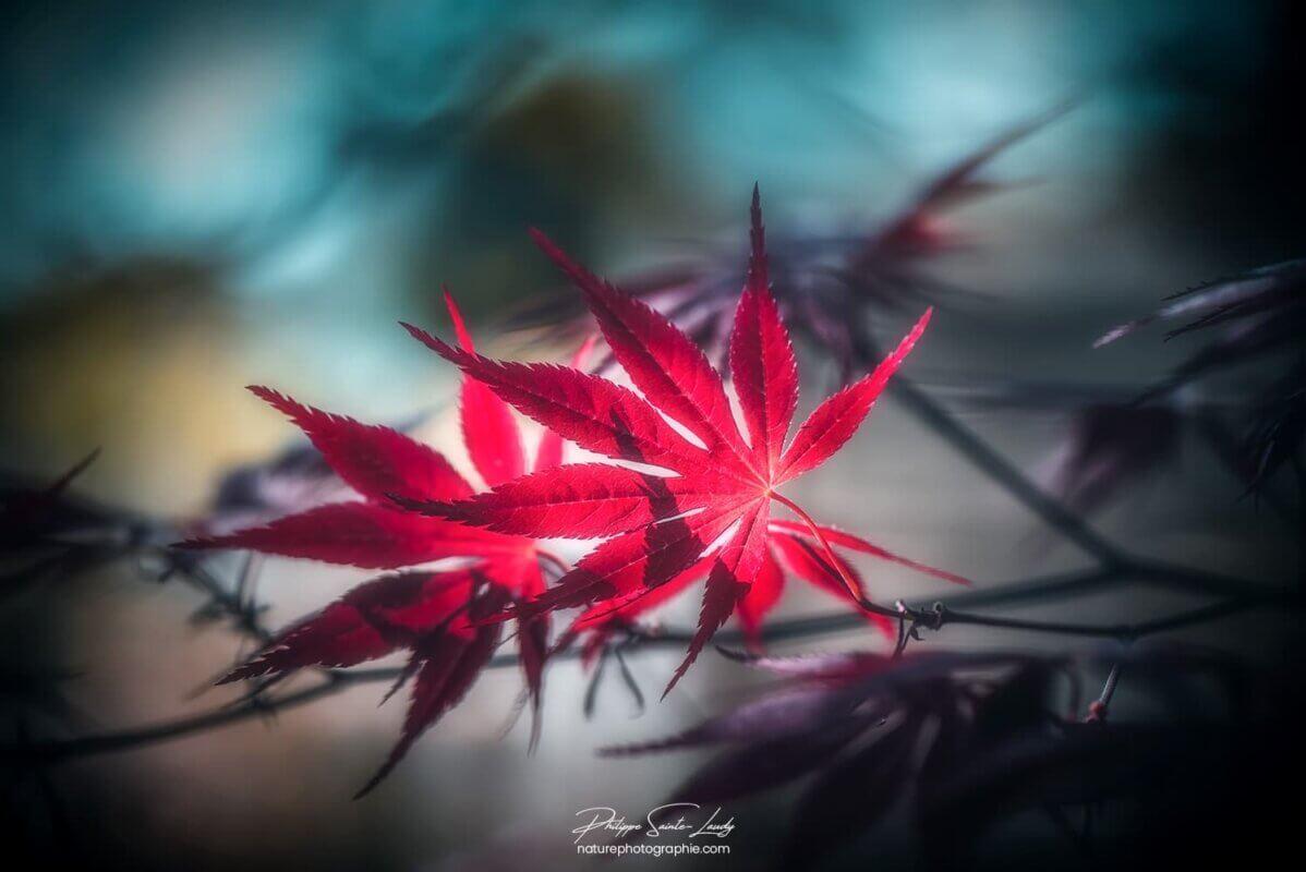 Couple de feuilles d'érable rouge
