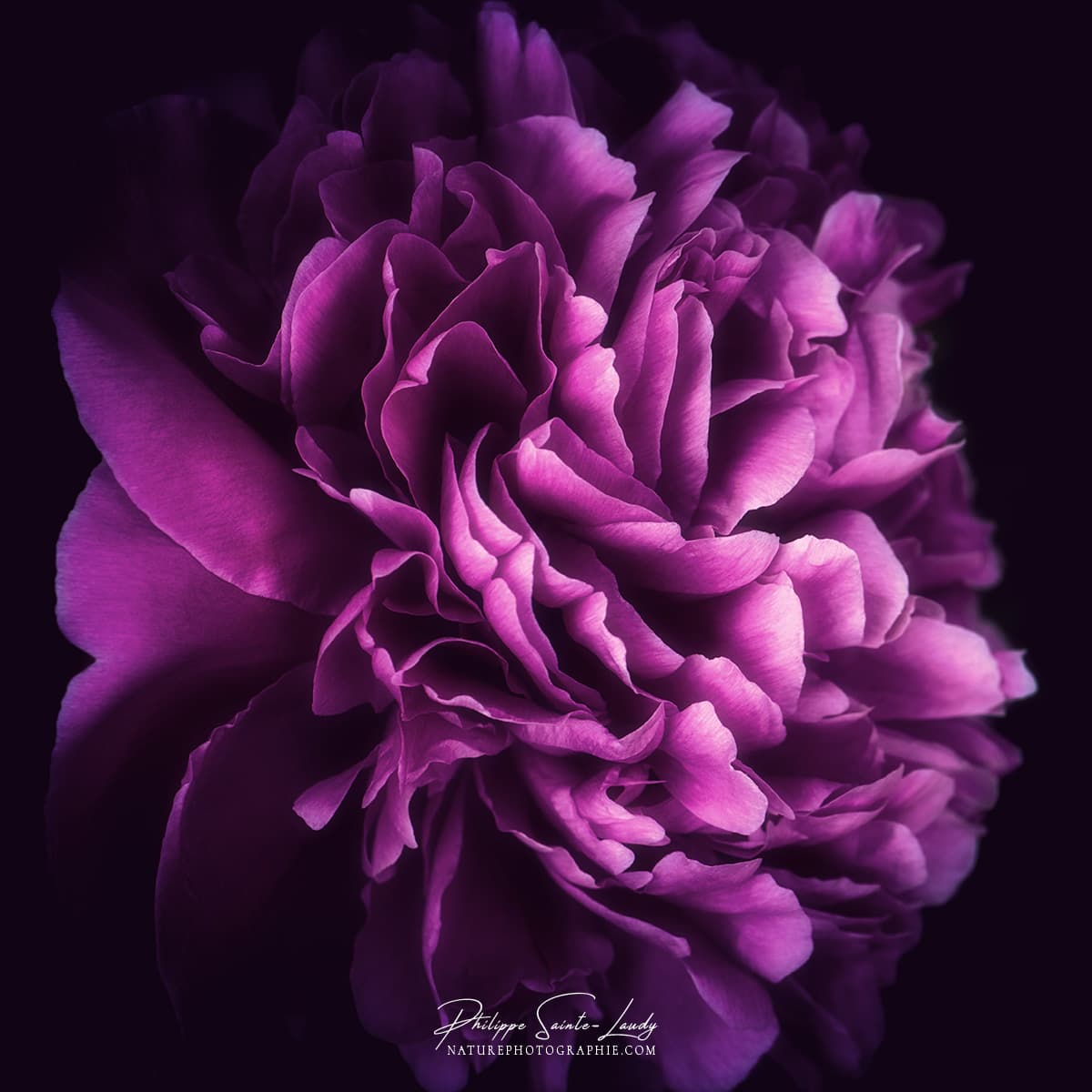 Pivoine violette