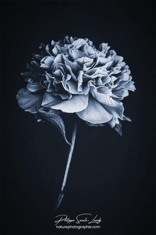 Pivoine bleue