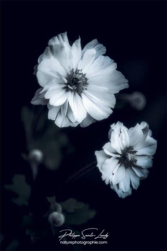 Anémones du Japon en noir et blanc