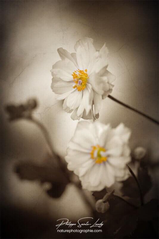 Sépia sur fleurs