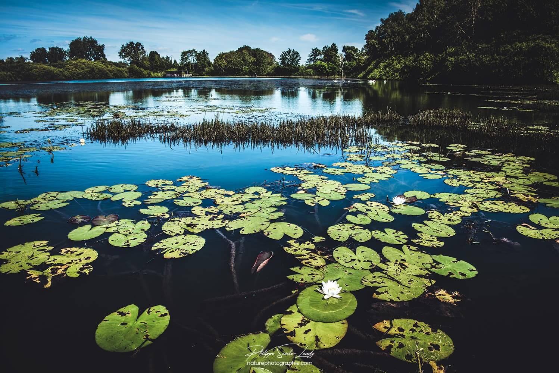 Nénuphars sur un lac