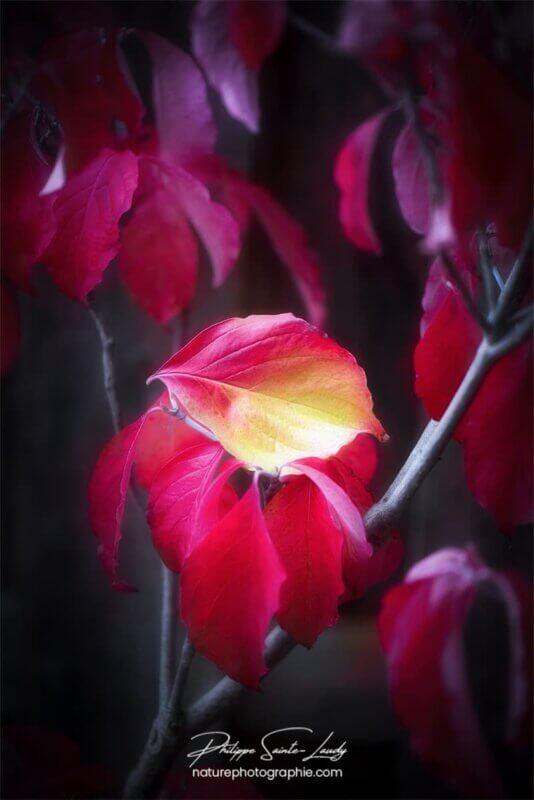 Une feuille rouge et jaune de cornouiller en automne